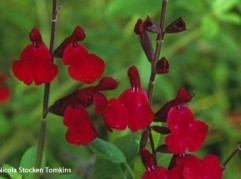 Salvia Silas Dyson, named after William DysonÕs second son, a perennial salvia with erect spikes of dark red flowers from summer into autumn.