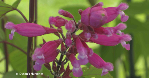 Salvia involucrata 'Bethellili'