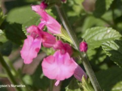 Salvia microphylla 'Blush Pink