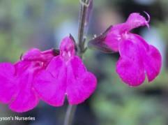 Salvia microphylla 'Cerro Potosí'