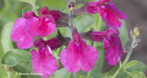 Salvia x jamensis 'Dark Dancer'