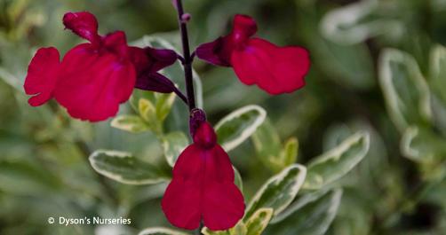 Salvia greggii Desert Blaze