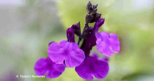 Salvia 'Dyson's Gem'