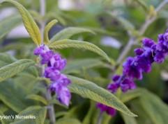 Salvia Leucantha 'Eder'