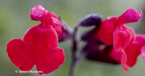 Salvia Great Comp
