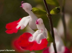 Salvia microphylla 'Hot Lips'