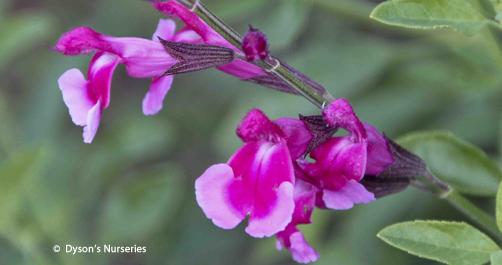 Salvia Icing Sugar