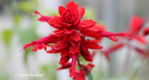 Salvia splendens 'Jimi's Good Red'