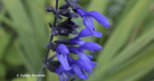 Salvia guaranitica 'Midnight'