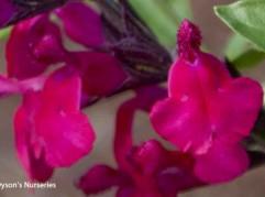 Salvia x jamensis 'Raspberry Royale'