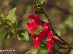 Salvia microphylla 'Robin's Pride'