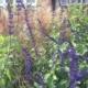 Salvia-'Indigo-Spires'