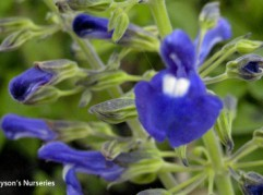 Salvia Amethystina ssp. Ampelophylla