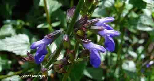 Salvia Arizonica