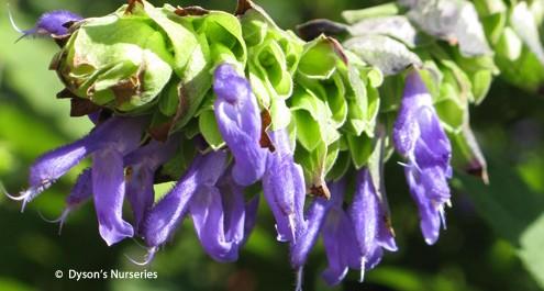 Salvia Atrocyanea