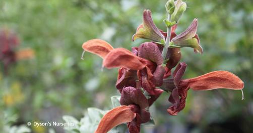 Salvia Aurea Kirstenbosch