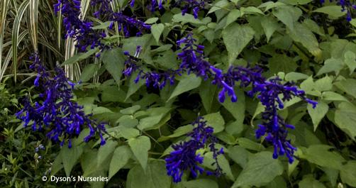 Salvia Concolor