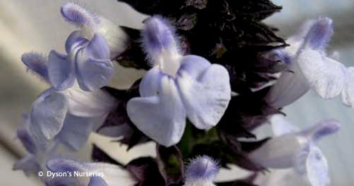 Salvia Cyanicalyx