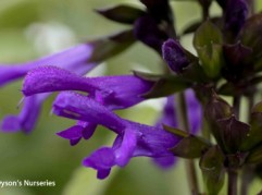 Salvia guaranitica var. Purpurea