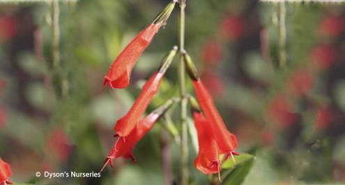 Salvia Oppositiflora