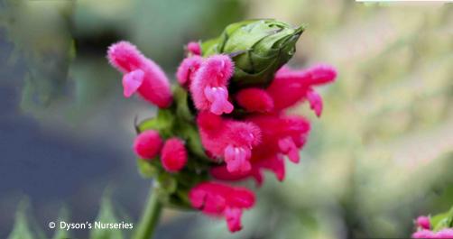 Salvia Oxyphora