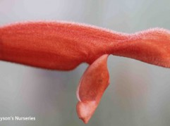 Salvia Stolonifera
