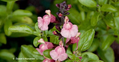 Salvia x jamensis 'Señorita Leah'
