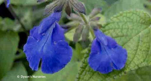 Salvia urica compacta 'Short Form'
