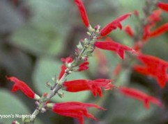 Salvia elegans Sonoran Red