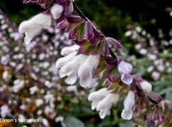 Salvia 'Waverly'