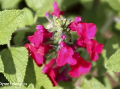 Salvia microphylla 'Wendy's Surprise'