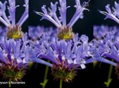 Salvia clevelandii Winnifred Gilman