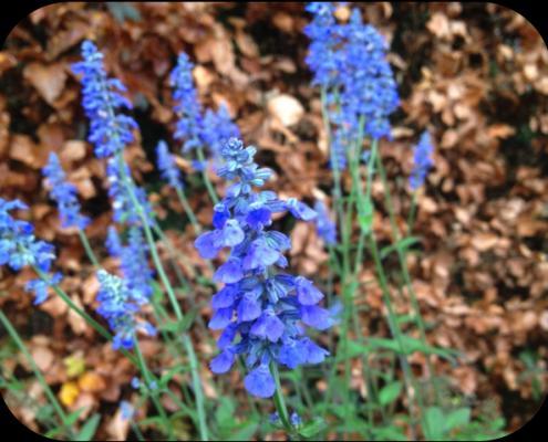 Salvia Agnes