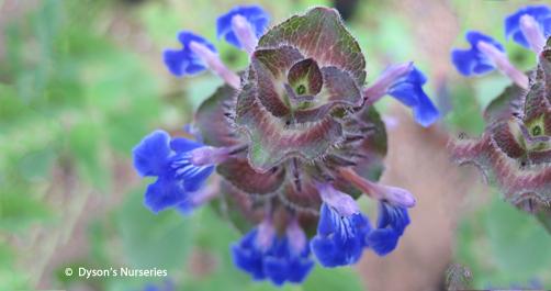 Salvia Clinopodioides