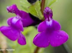 Salvia greggii x Serphyllifolia
