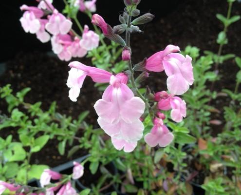 Salvia 'Krystle Pink'
