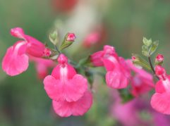 Salvia Indian Summer