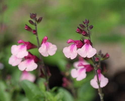 Salvia Crazy Dolls