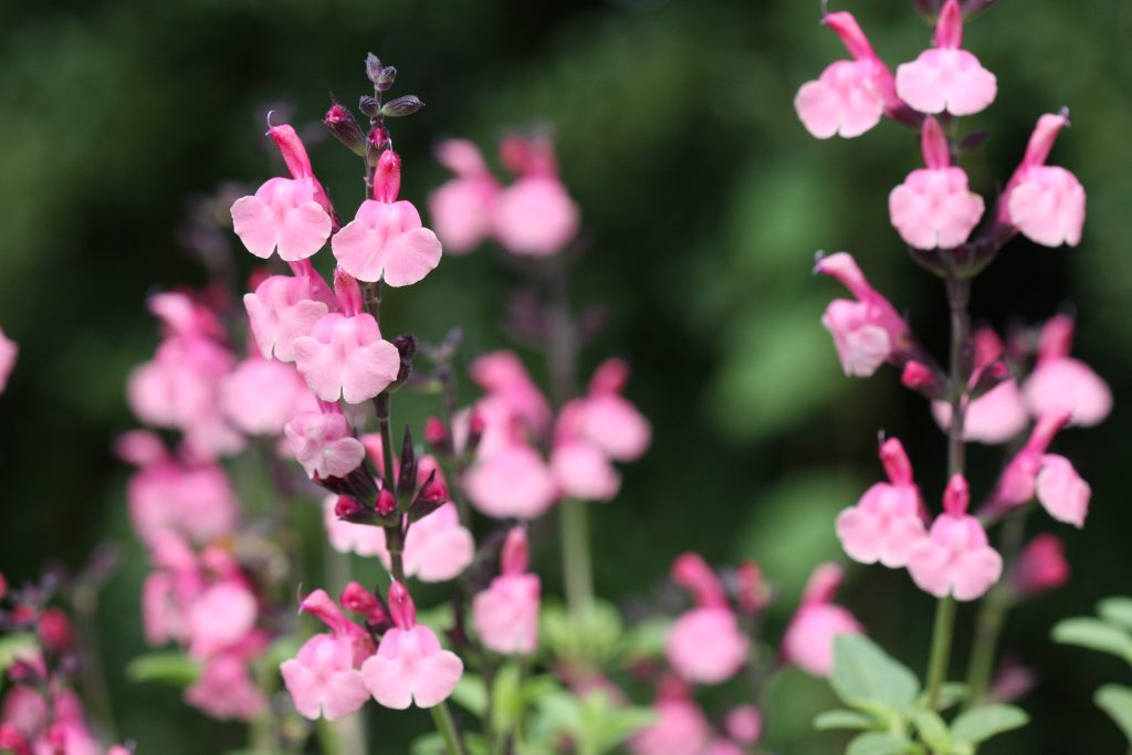 Salvia 'Pink Lace'
