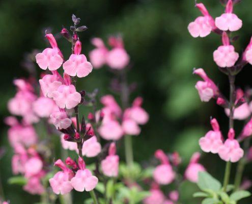 Salvia 'Pink Lace'