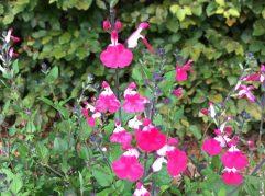 Salvia Pink Lips Jeremy