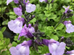 Close up of Salvia Cool Pale Blue