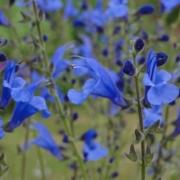 Salvia-'Amena'