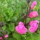 Salvia-Flower-Child