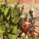 S. gesneriiflora 'Monty'