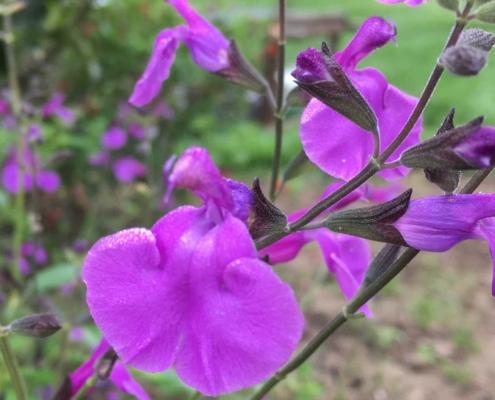 Salvia-Gea-Viola